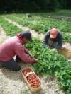 La Terre Ferme Récolte des fraises-10